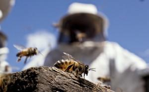 Apesar de pequena a abelha é muito agressiva.